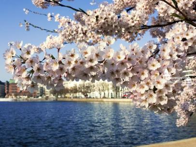 Hamburg Foto - ALS-00004 Kirschblüte an der Binnenalster