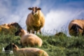 KUD-00002 - Kuddelmuddel - Schafe im Alten Land