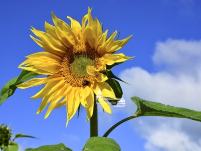 KUD-00001 - Kuddelmuddel - Sonnenblume