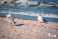 MAR-00009 - Maritimes - Möwen an der Ostsee