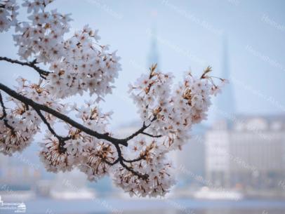 ALS-00008 Kirschblüte an der Binnenalster