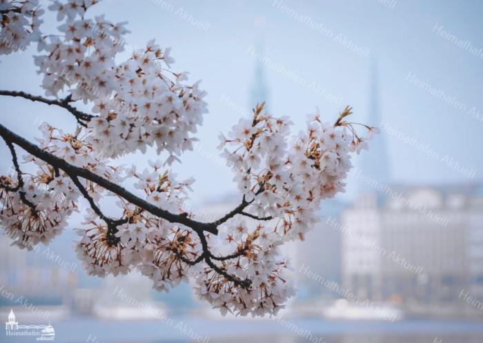 Hamburg Fotos und Bilder - Alster - ALS-00008 Kirschblüte an der Binnenalster