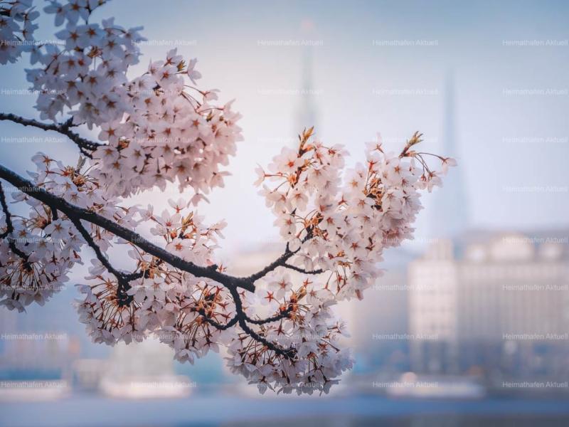 Hamburg Fotos Alster - ALS-00008-Kirschblüte-an-der-Binnenalster