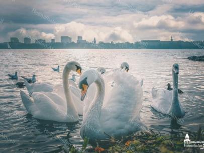 Hamburg Fotos und Bilder - Alster - ALS-00016-Alsterschwäne auf der Aussenalster