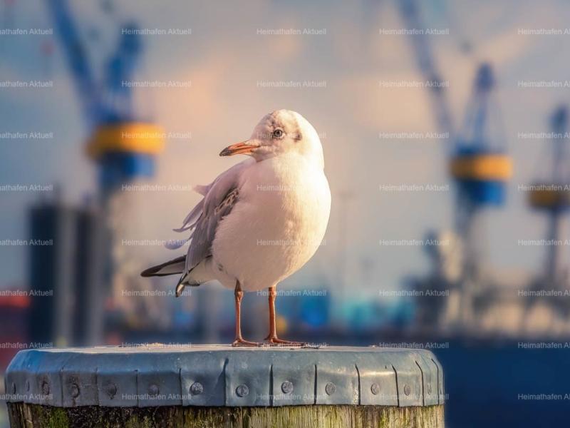 Hamburger Hafen Fotos HAF-00235-Moewe-auf-Duckdalben vor Blohm + Voss